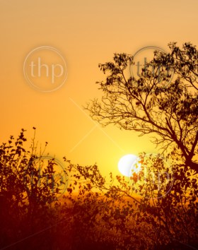 African sunset through silhouetted trees with copy space in the golden sky