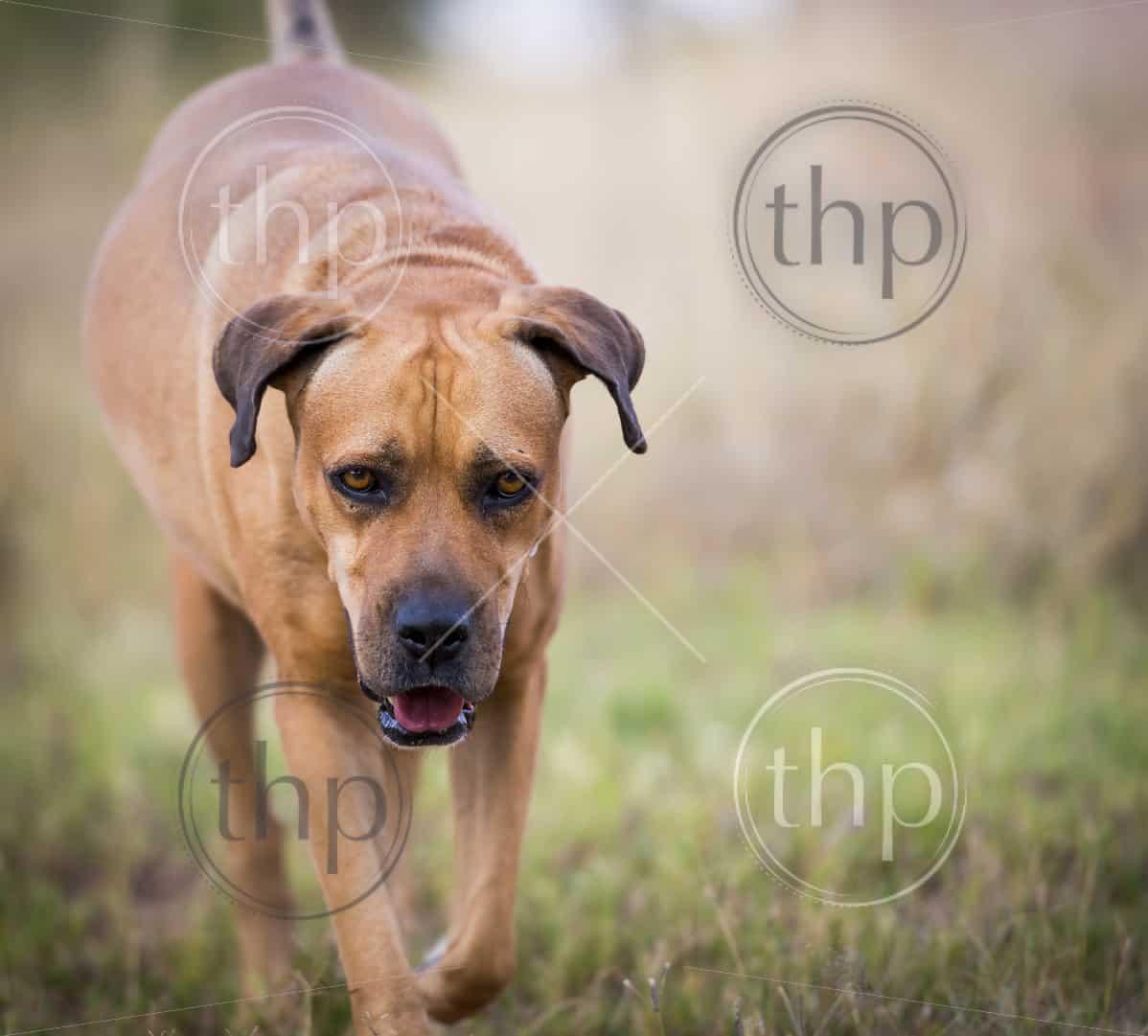 Boerboel dog or South African Mastiff walking through grass
