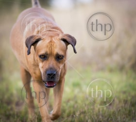 Boerboel dog or South African Mastiff walking through grass