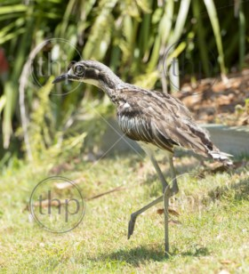 The Bush Stone-curlew (Burhinus grallarius) is an iconic, nocturnal bird seen often on Stradbroke Island, Queensland, Australia