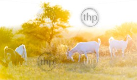 Goats grazing in beautiful sunset light filtering down on the field