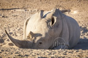 White Rhino resting in the dirt with huge horn, in Botswana, Africa