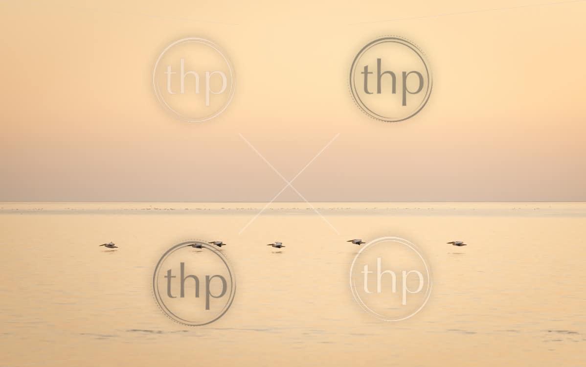 Pelicans glide across the Makgadikgadi Pan at dusk in Botswana, Africa