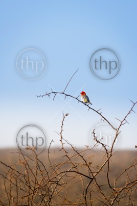 Red headed weaver bird (Anaplectes rubriceps) in Botswana, Africa