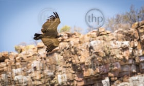 Large Vulture in flight soaring down a canyon wall in Botswana, Africa
