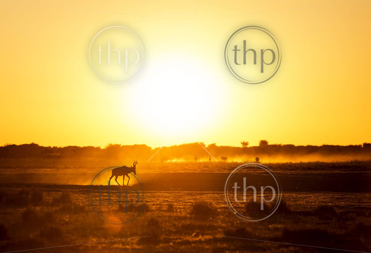 Africa sunset landscape with silhouetted Impala walking on the dusty ground in Botswana, Africa
