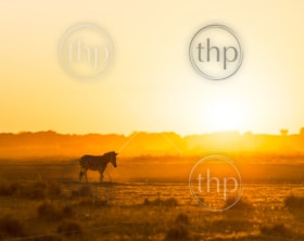 Africa sunset landscape with silhouetted Zebra in the dust of Botswana, Africa