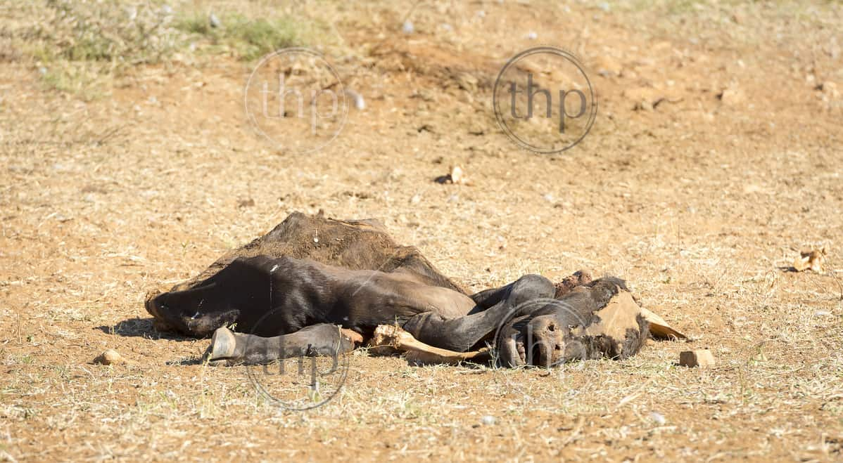 Dead cow decaying in the drought conditions in Botswana, Africa