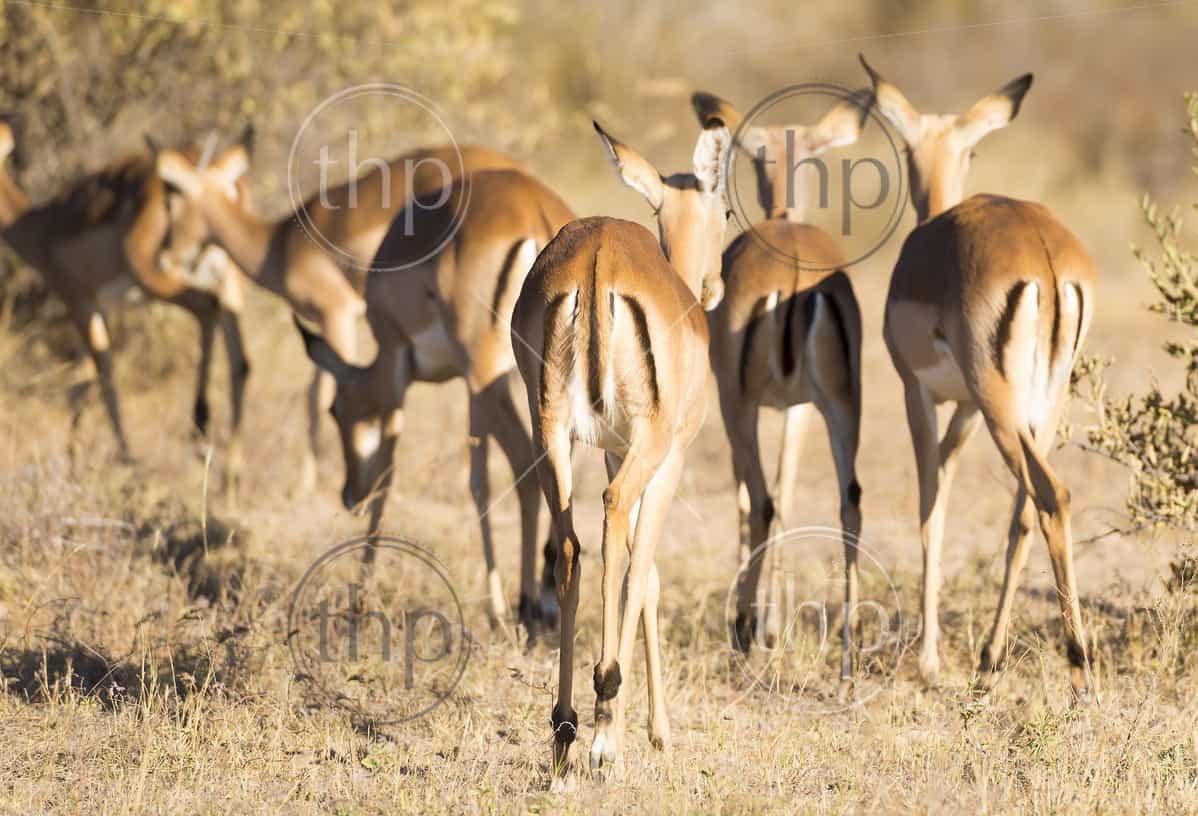 Impala out on the plains in Botswana, Africa