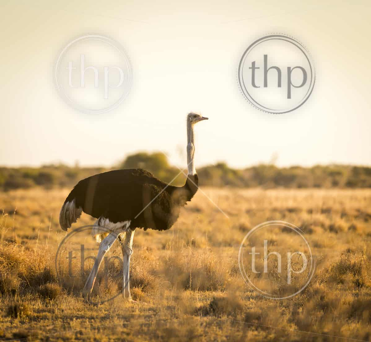 Beautiful Ostrich stands on the plains at sunset in Botswana, Africa