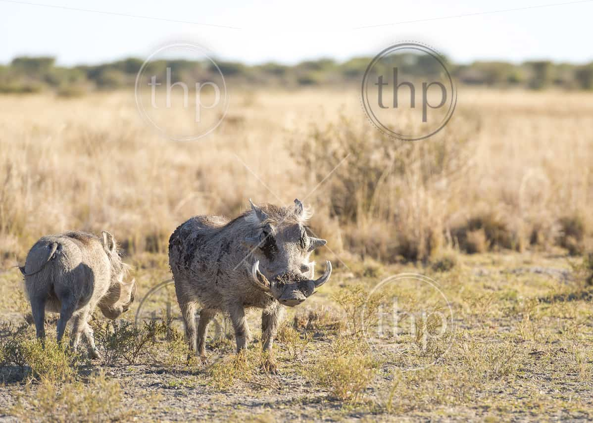 Warthog out on the plains in Botswana, Africa