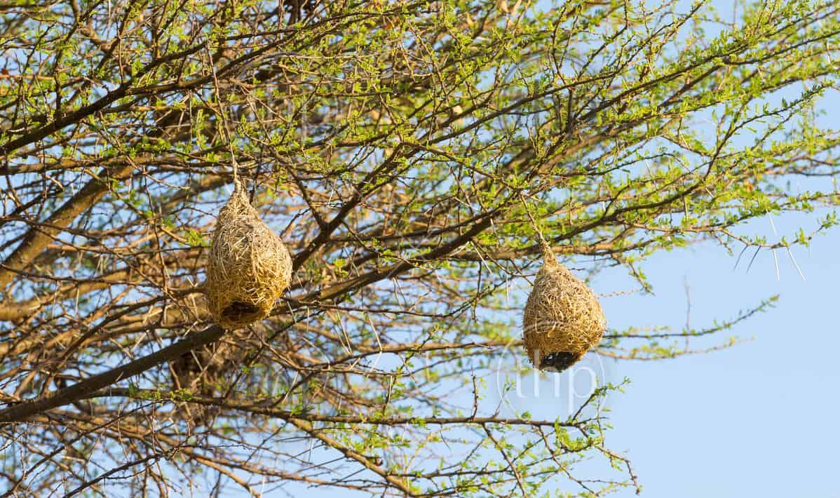 Amazing Weaver Bird nests hang in trees in Botswana, Africa