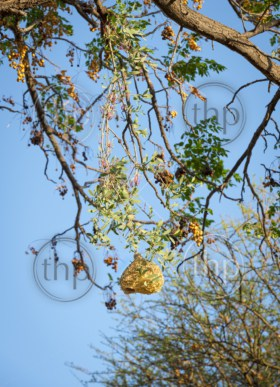Amazing Weaver Bird nests hang in trees in Botswana, Africa