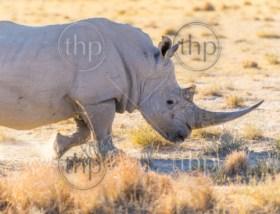White Rhino or Rhinoceros while on safari in Botswana, Africa