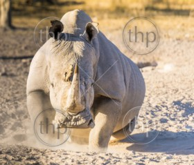 White Rhino or Rhinoceros looking angry while on safari in Botswana, Africa