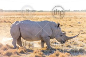 White Rhino or Rhinoceros marking territory while on safari in Botswana, Africa