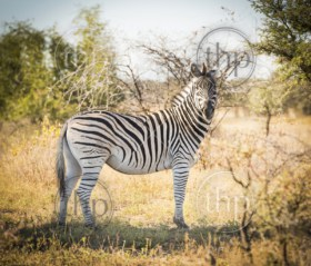 Zebra in Botswana, Africa with black and white stripes