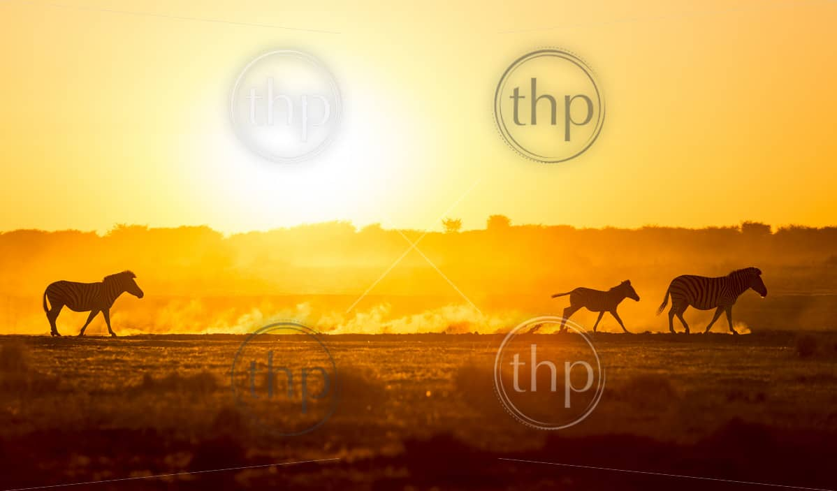 Silhouetted Zebra family walk across the African sunset, with a baby Zebra racing along in the dust
