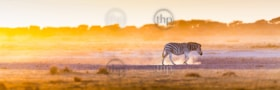 Zebra at sunset in Botswana, Africa with beautiful sunset light