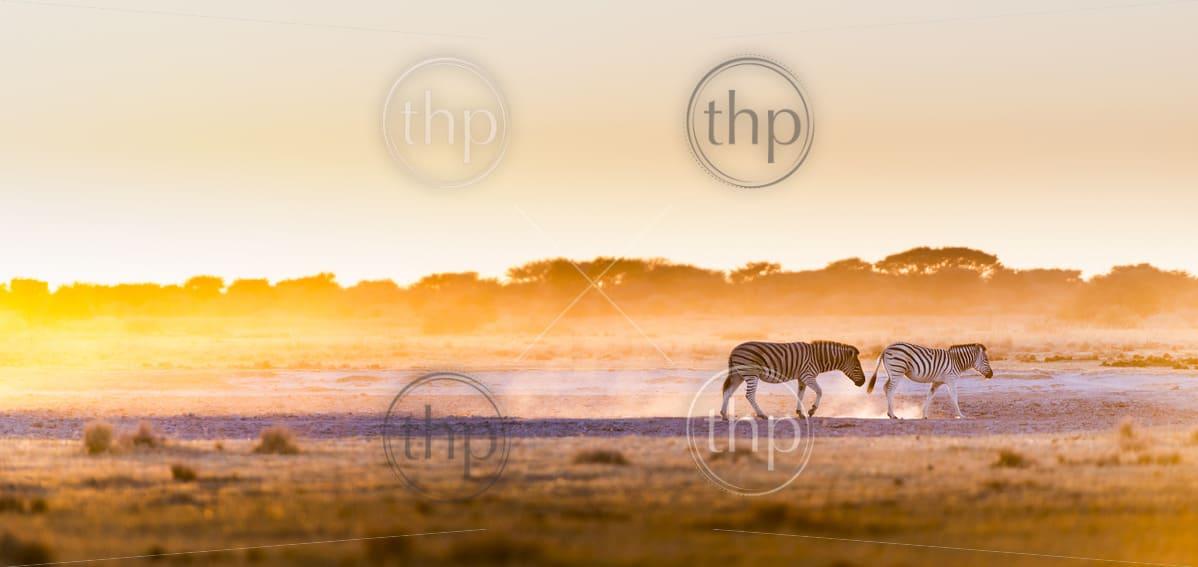 Zebra at sunset in Botswana, Africa with beautiful sunset light