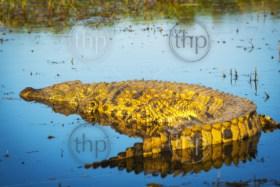 Alligator in the wild at sunset on the Chobe River, Chobe National Park, Botswana, Africa