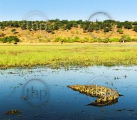 Alligator on the Chobe River, Chobe National Park, Botswana, Africa