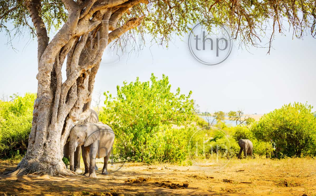 Baby Elephant hiding under a tree with parent behind in the wild