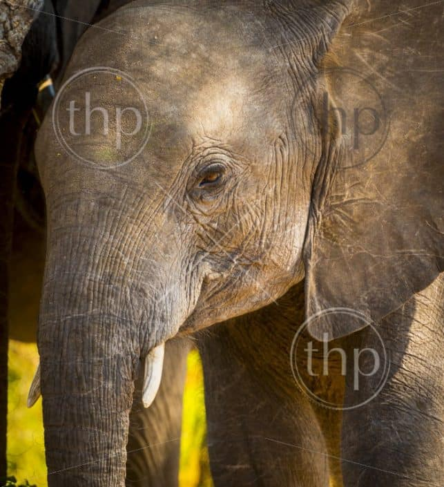 Baby elephant in the wild at Chobe National Park, Botswana, Africa