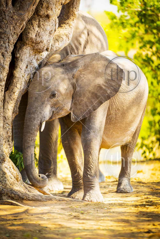 Baby elephant in the wild at Chobe National Park, Botswana, Africa