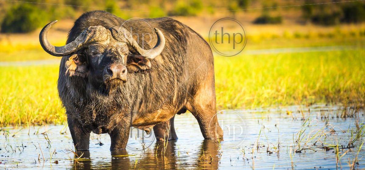 Cape Buffalo in the wild on the Chobe River, Botswana