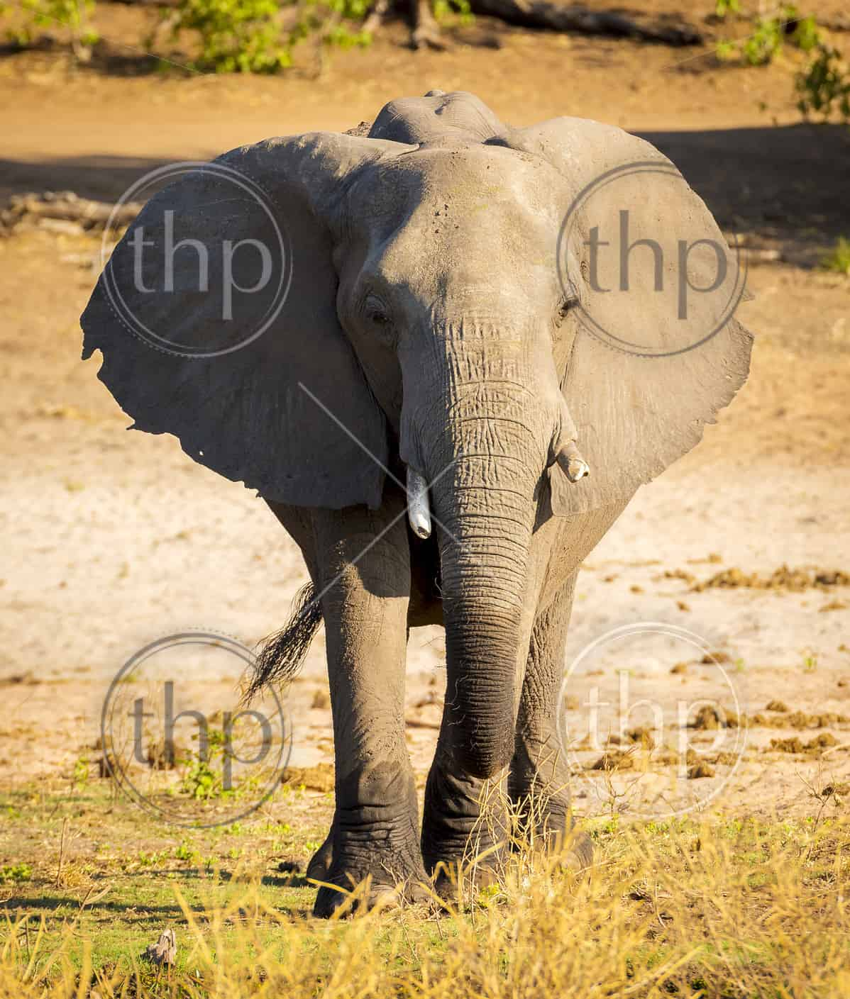 Elephant in Chobe National Park, Botswana, Africa