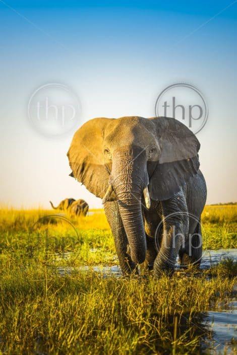 Elephant half wet in sunset light in Africa