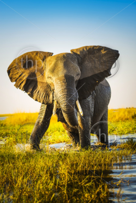 Elephant half wet in sunset light in Africa getting ready to charge