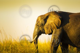 Elephant walking through long grass on the plains of Africa at sunset
