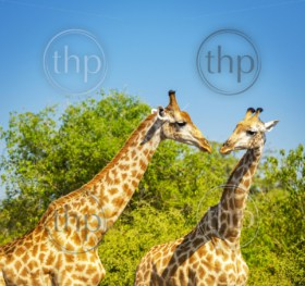 Giraffe pair in the wild in Chobe National Park, Botswana, Africa