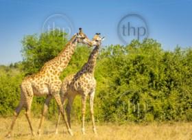 Giraffe pair in the wild in Chobe National Park, Botswana, Africa