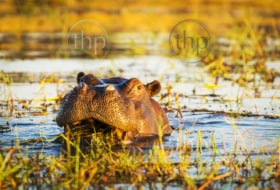 Hippopotamus or hippo in the Chobe River in Chobe National Park, Botswana, Africa