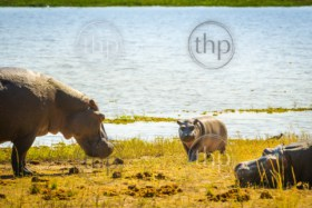 Hippopotamus family at the waters edge in Chobe National Park, Botswana, Africa