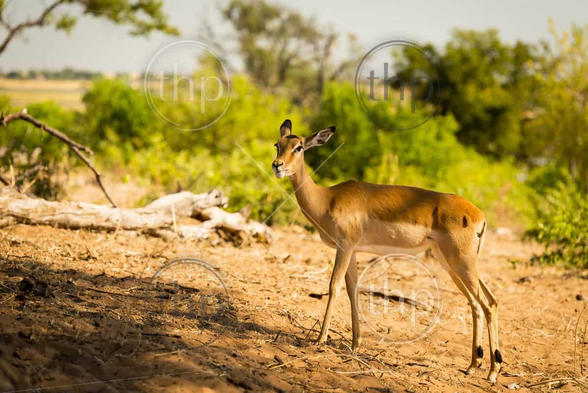 Lone Impala in the wild in Botswana, Africa