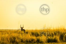 Impala silhouetted at sunset in Africa in long grass beside the Chobe River, Botswana