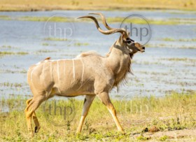 Greater Kudu with long horns in the Chobe National Park, Botswana, Africa
