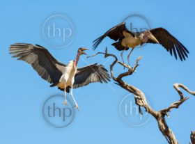 Marabou Stork birds (Leptoptilos crumenifer) in flight against a blue sky in Botswana, Africa