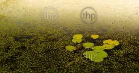 Water lily pads on the water in the Chobe River, Botswana, Africa at sunset