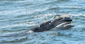 Baleen Whale surfaces its head