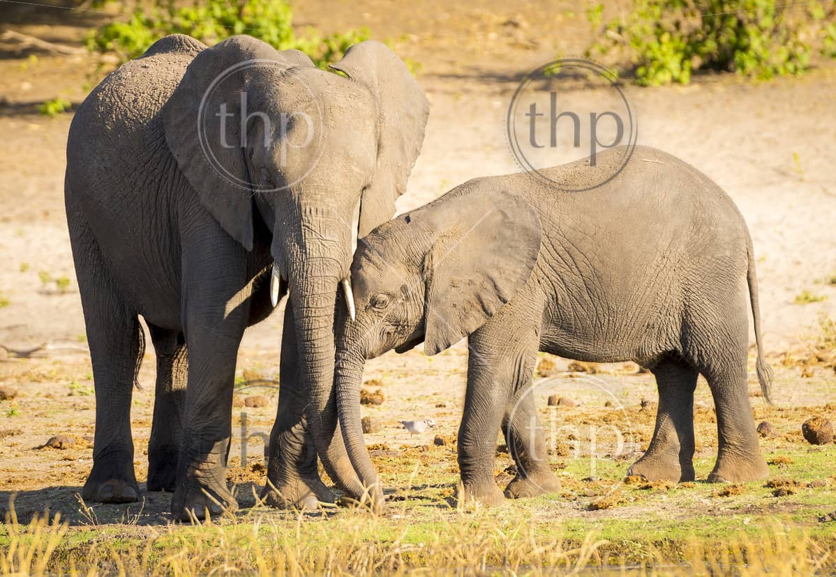 Elephant parent cares for its young baby calf in Botswana