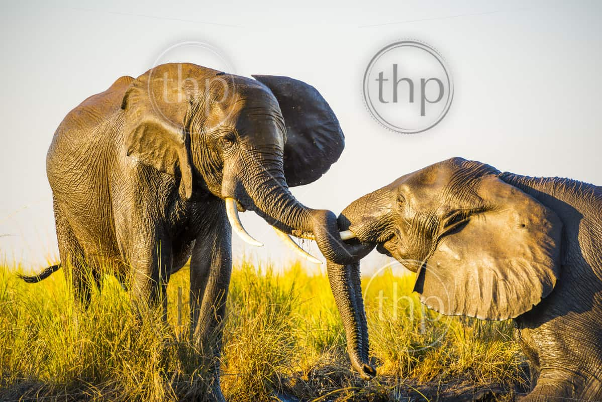 Elephants young and old playing in the mud on riverbank at sunset in Botswana