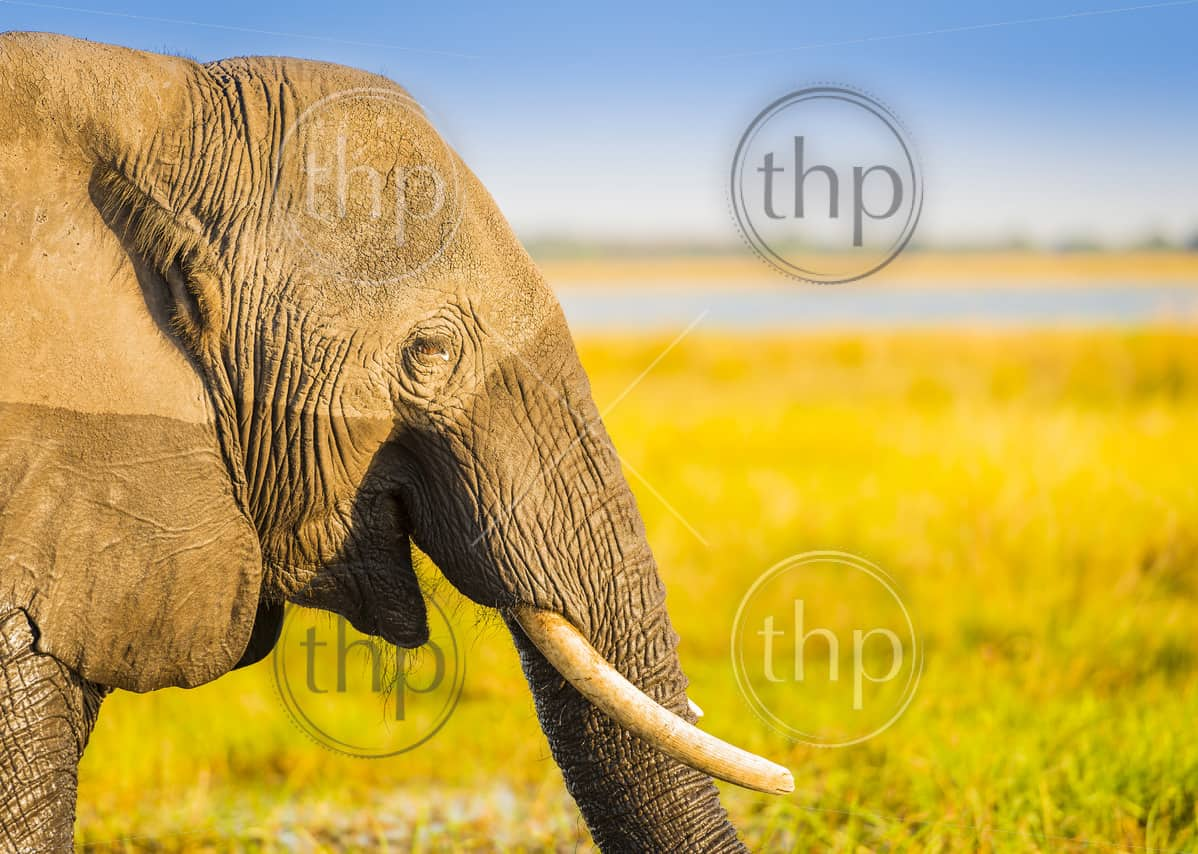 Smiling happy elephant in Africa with blurred background for copy space