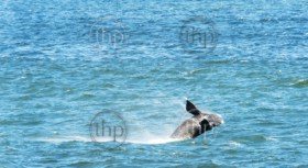 Southern Right Whale breaching from ocean