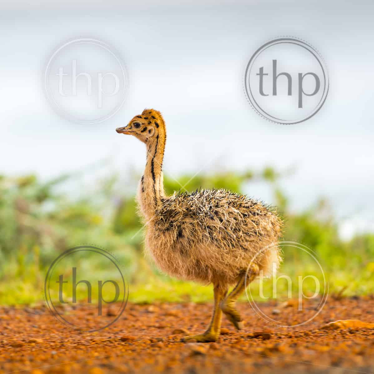 Fluffy baby ostrich chick at the Cape of Good Hope, Cape Peninsula, South Africa