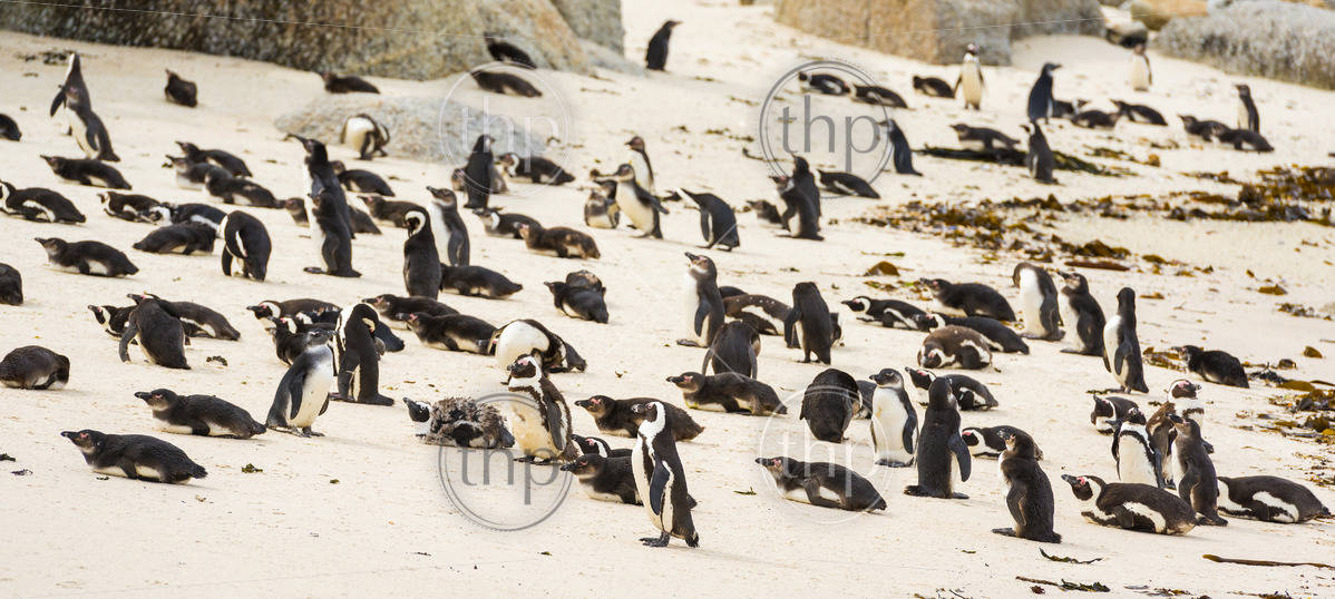 Boulders Penguin Colony with African Penguins on the beach